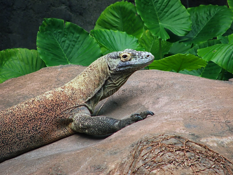 Download Dragão de Komodo foto de stock. Imagem de réptil, escalas - 539230