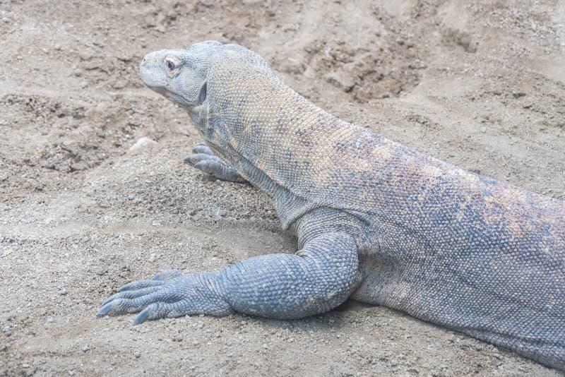 Dragão de Komodo que descansa na areia imagens de stock royalty free