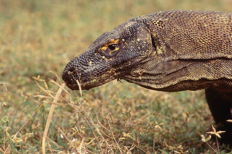 Dragão de Komodo, waran, lagarto de monitor, um réptil perigoso fotografia de stock royalty free