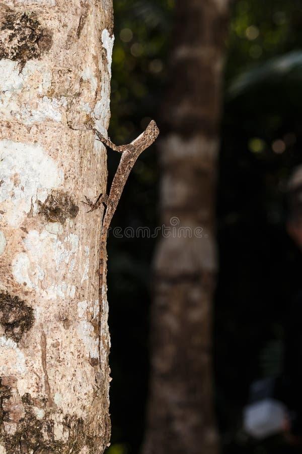 Dragão de voo manchado ou lagarto de voo Alaranjado-voado imagem de stock