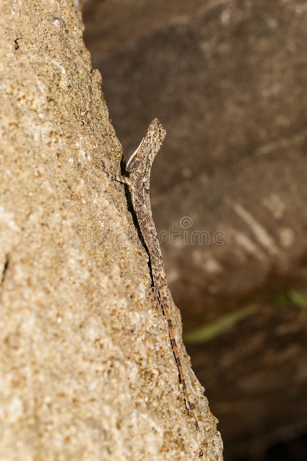 Dragão de voo manchado ou lagarto de voo Alaranjado-voado (Mac do Draco imagens de stock