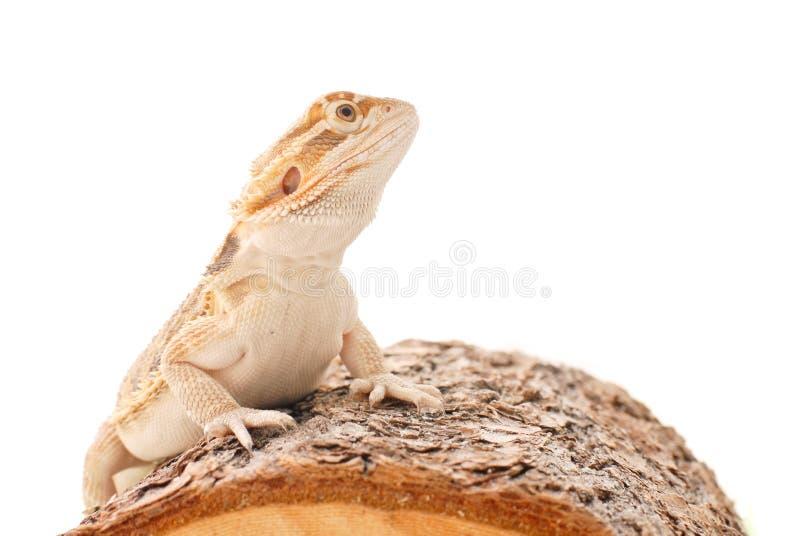 Dragão farpado fotos de stock