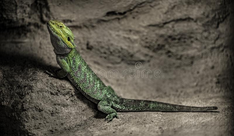 Dragão farpado central, vitticeps de Pogona foto de stock royalty free