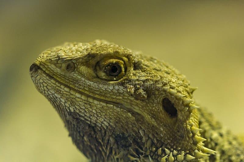 Dragão farpado no jardim zoológico imagem de stock royalty free