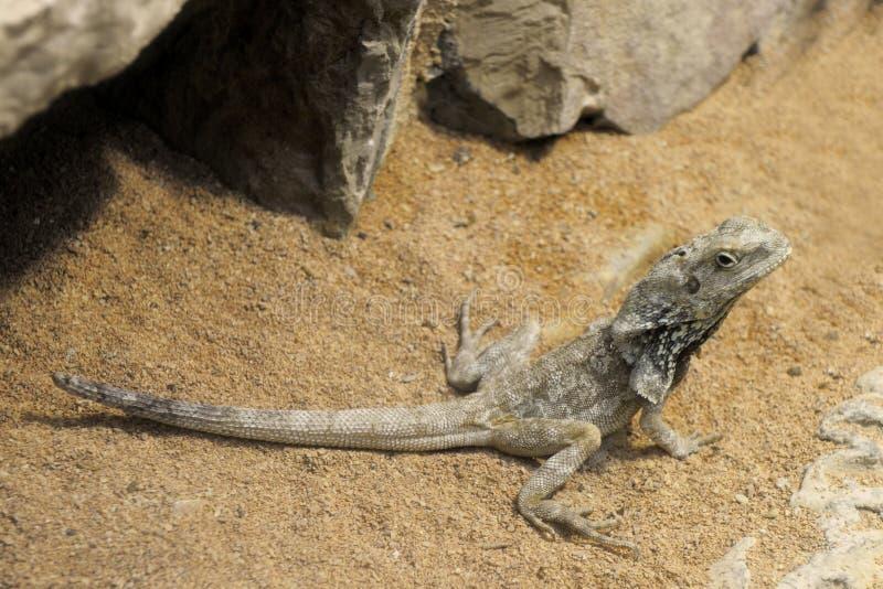 Dragão farpado, Pogona Vitticeps imagem de stock