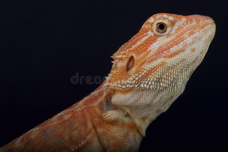 Dragão/vitticeps farpados de Pogona foto de stock