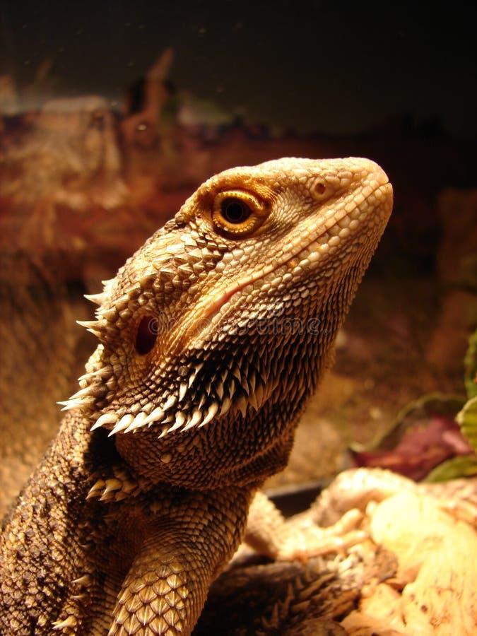 Dragón barbudo foto de archivo