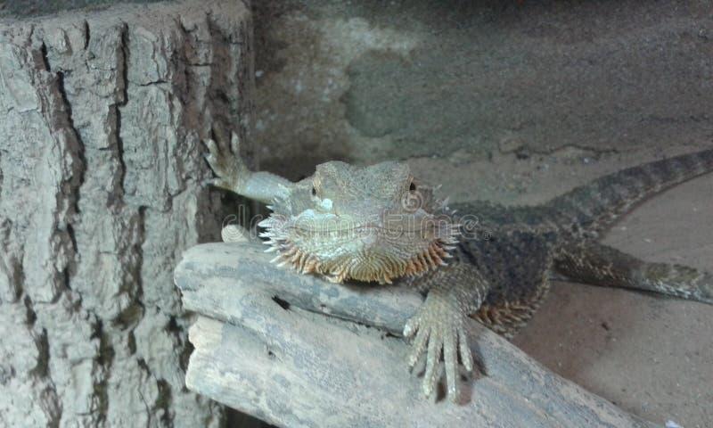 Dragón barbudo lindo fotografía de archivo