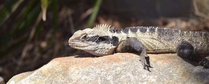 Dragón de agua australiano en roca fotos de archivo