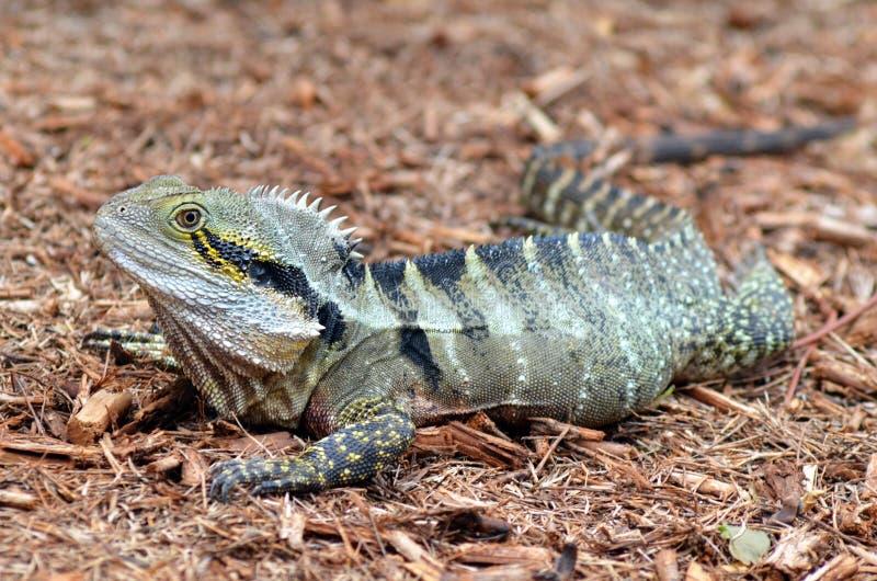 Dragón de agua del este australiano imagenes de archivo