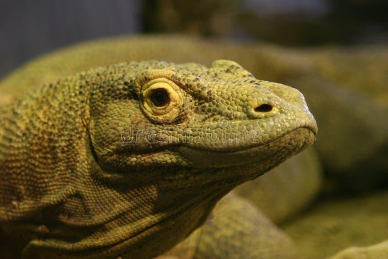 Dragón de Komodo fotos de archivo