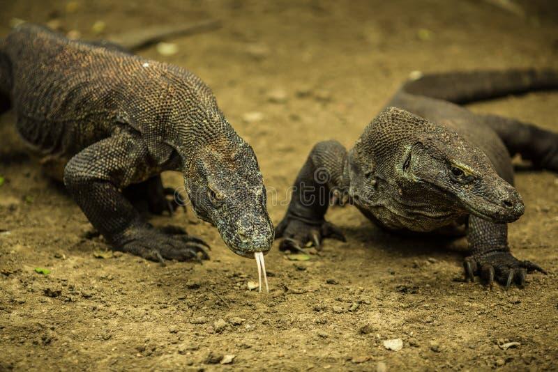 Los pares de lagartos gigantes se cierran en la isla de Komodo 2, Indonesia fotos de archivo