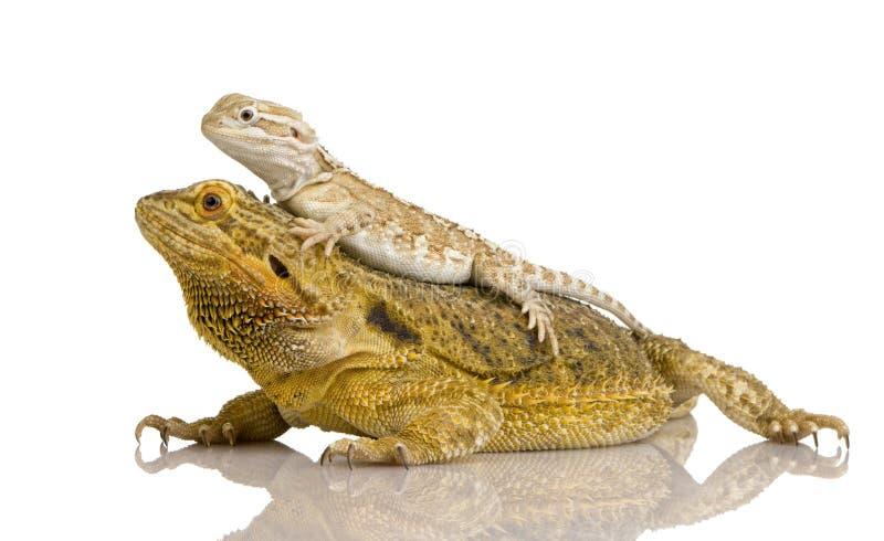 Dragón de Lawson - henrylawsoni de Pogona fotografía de archivo
