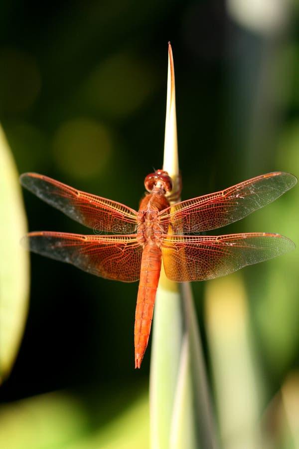 Dragón en rojo imagen de archivo libre de regalías