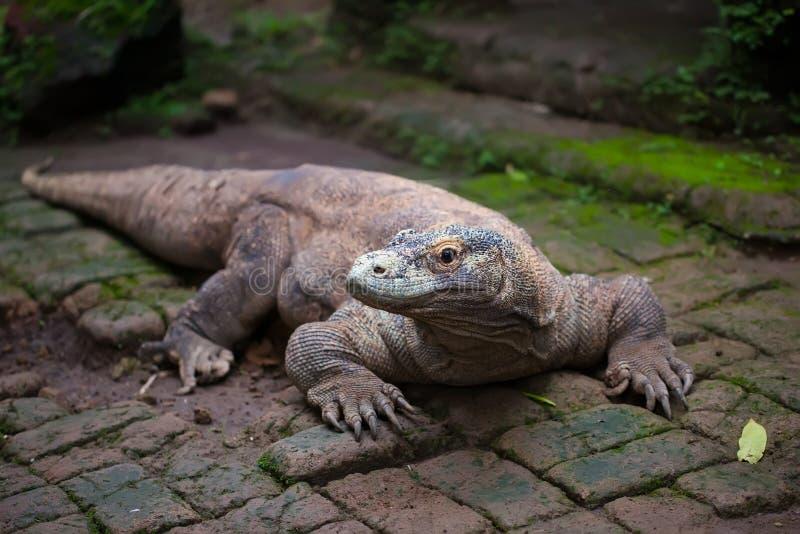 Dragón enorme de Komodo fotos de archivo