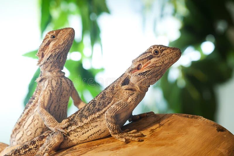 Dragões farpados juvenis imagens de stock royalty free