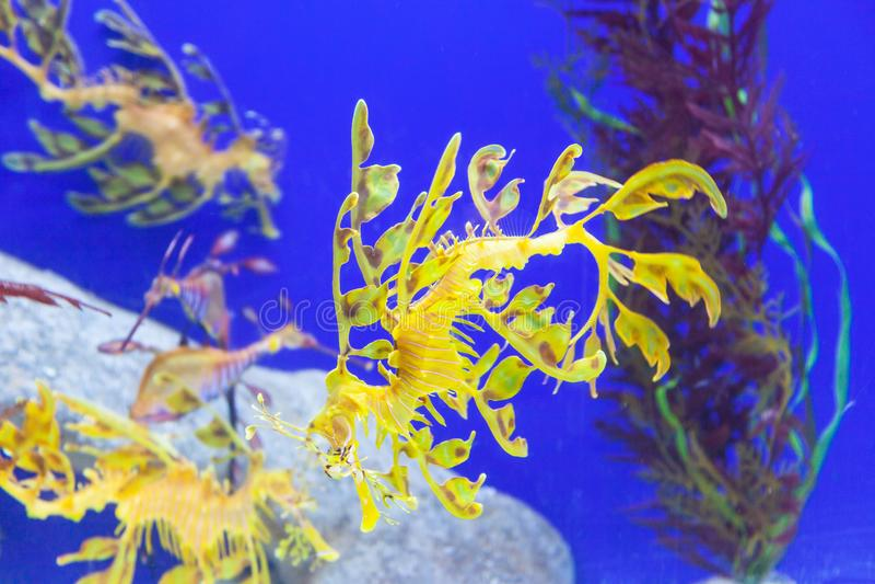 Dragões frondosos do mar fotos de stock royalty free