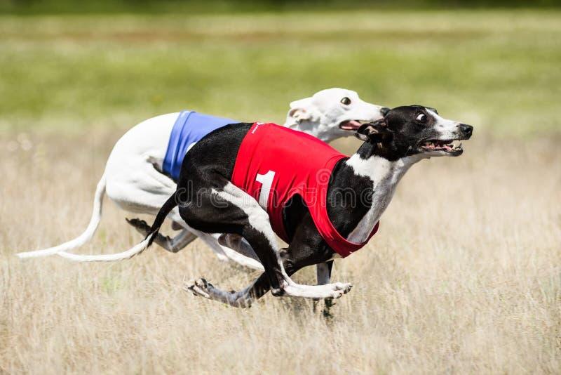 Drag för två som Sighthounds jagar konkurrens Fas för första flyg av arkivbild