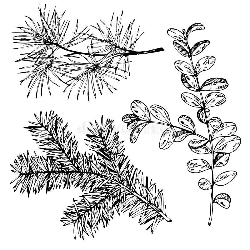 Dragen gran för vektorn sörjer handen, och buxbom förgrena sig Tappning inristad botanisk illustration julen dekorerar nya home i vektor illustrationer