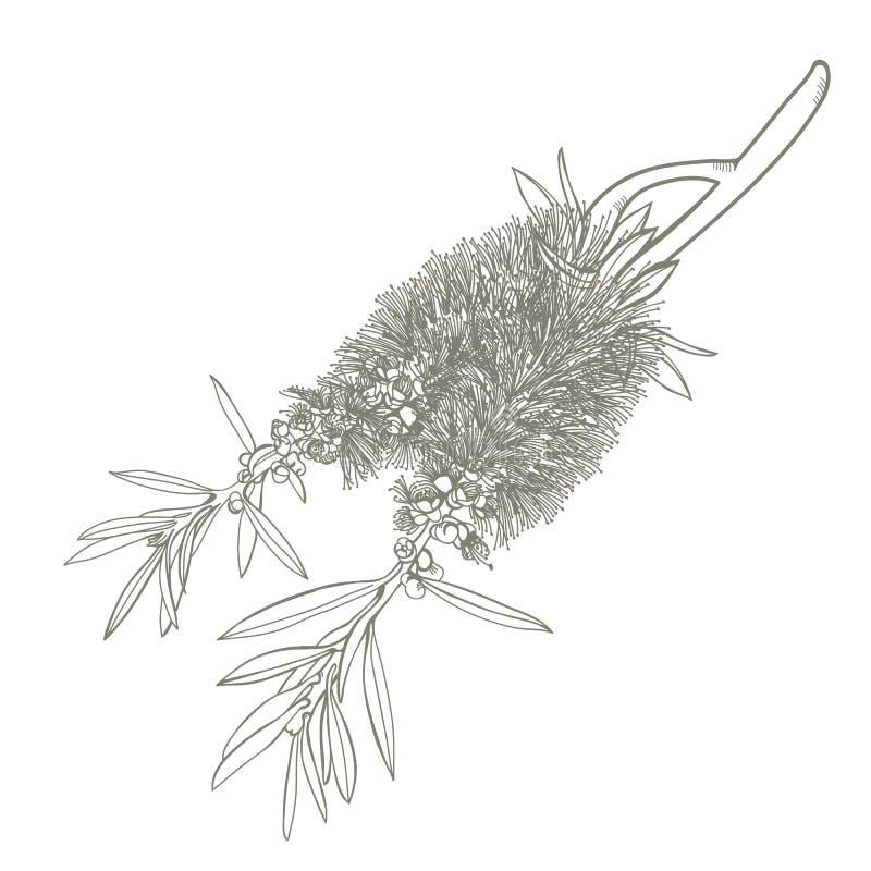 Dragen hand blomma Bottlebrushblomman vektor illustrationer