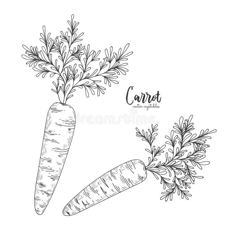 Dragen illustration för vektormorot hand i stilen av gravyr Detaljerad vegetarisk matteckning Lantgårdmarknadsprodukt gravyr stock illustrationer