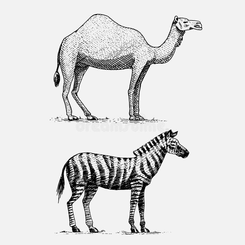 Dragen inristad vilda djur för kamel- och sebrahand i tappning eller retro stil, afrikansk zoologiuppsättning stock illustrationer