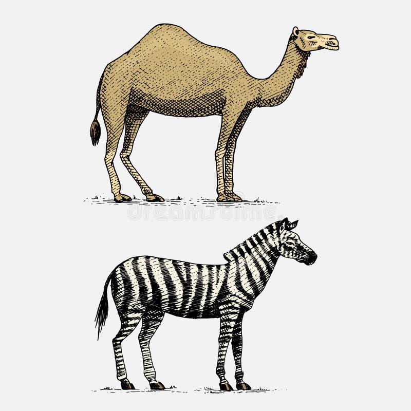 Dragen inristad vilda djur för kamel- och sebrahand i tappning eller retro stil, afrikansk zoologiuppsättning royaltyfri illustrationer