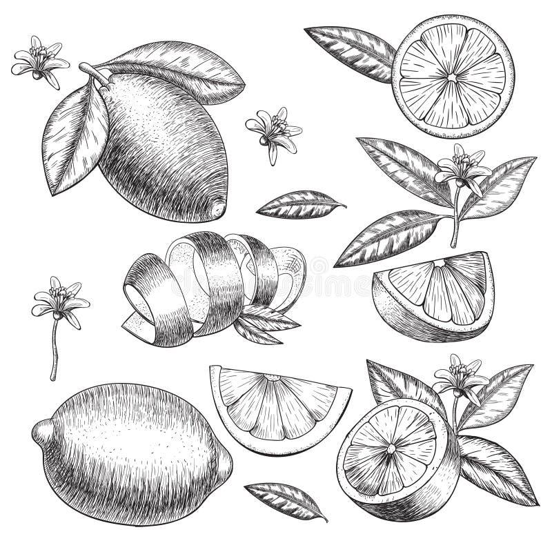 Dragen limefrukt- eller citronuppsättning för vektor hand Helheten halva skivade stycken, tjänstledigheter skissar Frukt inristad vektor illustrationer