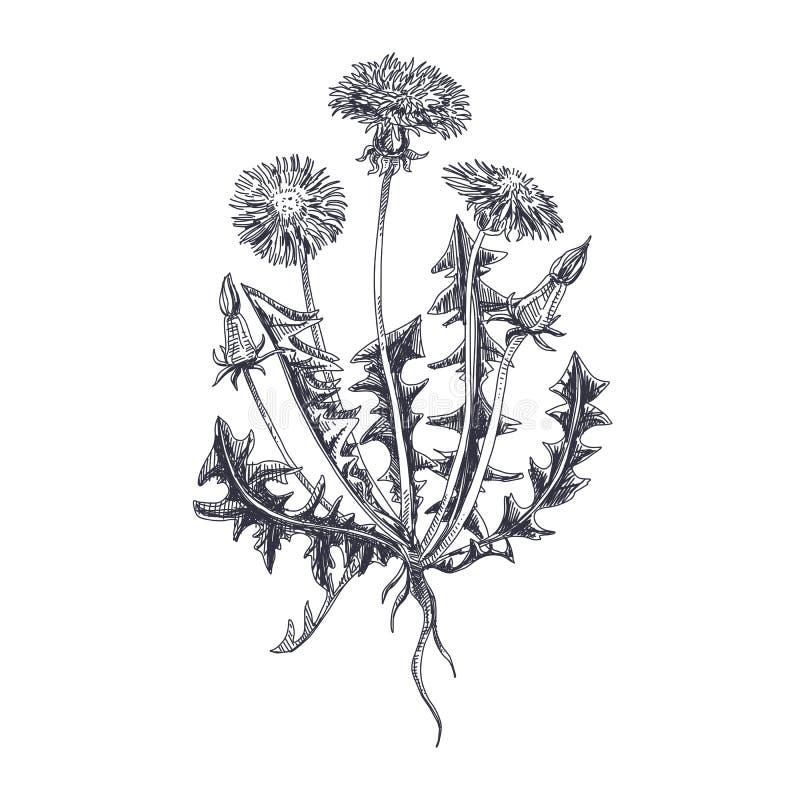 Dragen maskrosillustration för vektor hand royaltyfri illustrationer