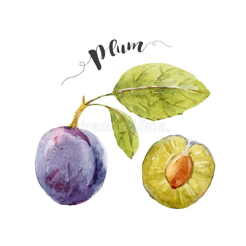 Dragen plommon för vattenfärg hand stock illustrationer
