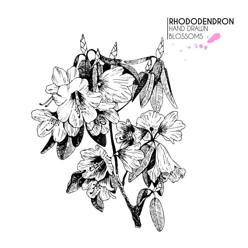 Dragen rhododendron för vektorn fattar handen bakgrund isolerad white Inristad botanisk illustration för tappning royaltyfri illustrationer