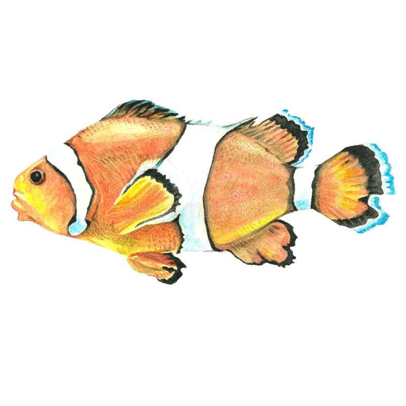 Dragen tropisk fisk för vattenfärg hand på en vit bakgrund royaltyfri illustrationer