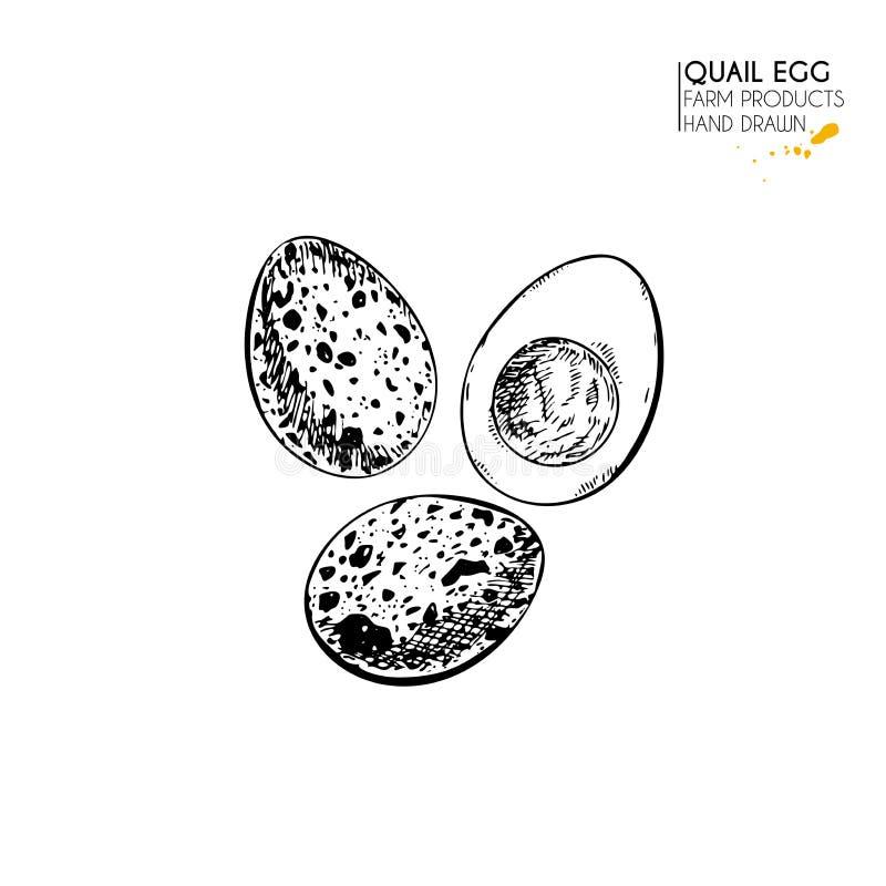 Dragen uppsättning för vektor hand av gårdsprodukter Isolerat kokt ägg för vaktel Inristad konst Organiskt skissat bruka mål vektor illustrationer