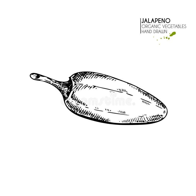 Dragen uppsättning för vektor hand av lantgårdgrönsaker Isolerad jalapenopeppar för varm chili Inristad konst Organiska skissade  stock illustrationer