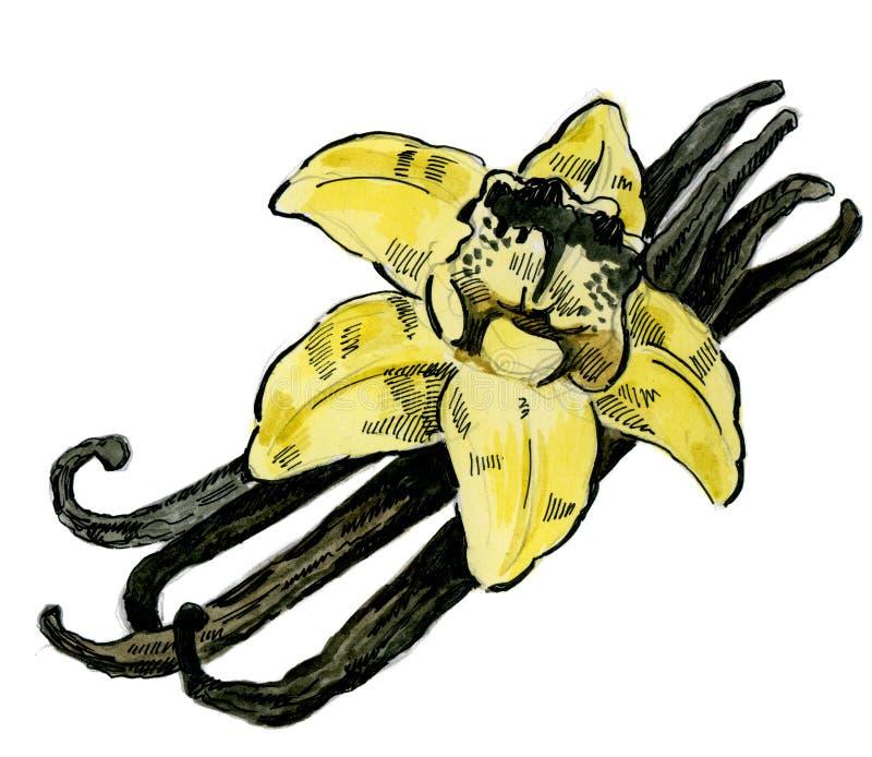 Dragen vanilj för vattenfärg hand vektor illustrationer
