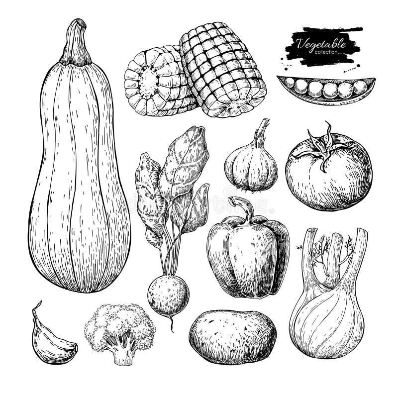 Dragen vektoruppsättning för grönsak hand vegetarian inristad st royaltyfri illustrationer