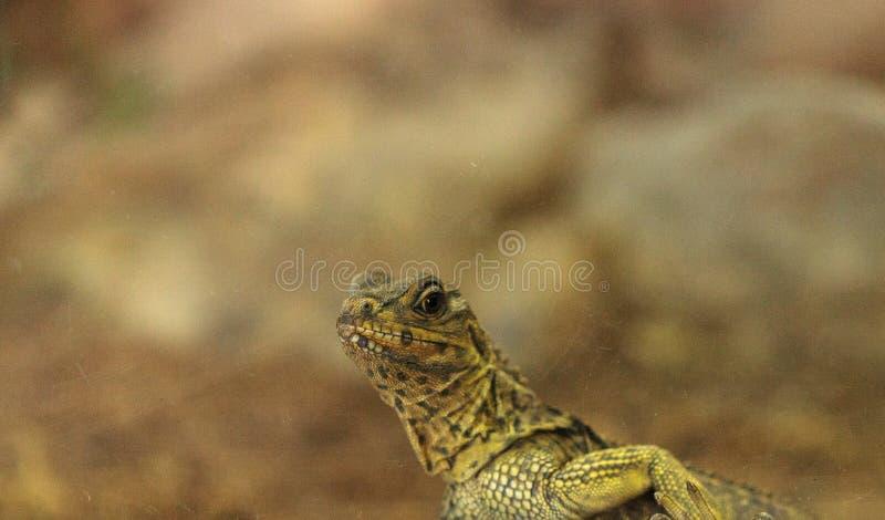 Drago alettato della giovane vela filippina conosciuto come il pustula di Hydrosaurus fotografia stock libera da diritti