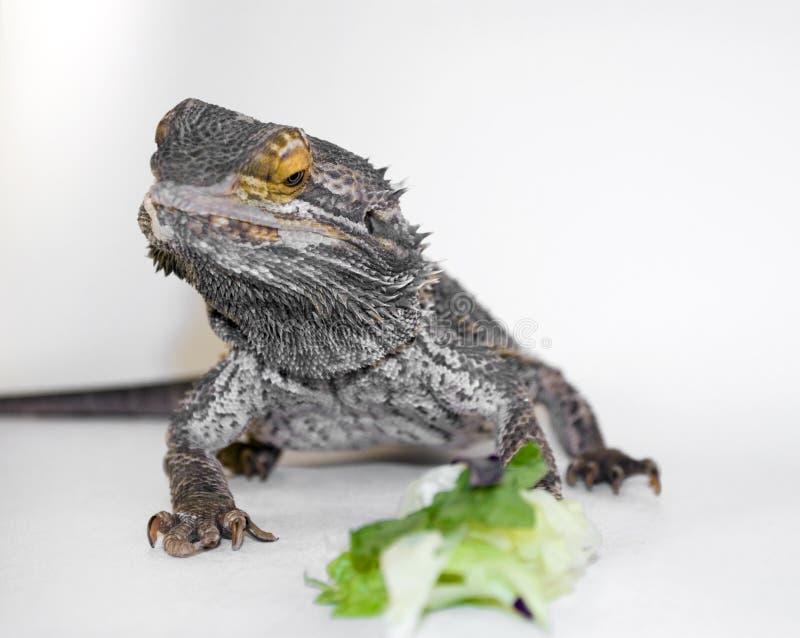 Drago barbuto che esamina alimento fotografie stock libere da diritti