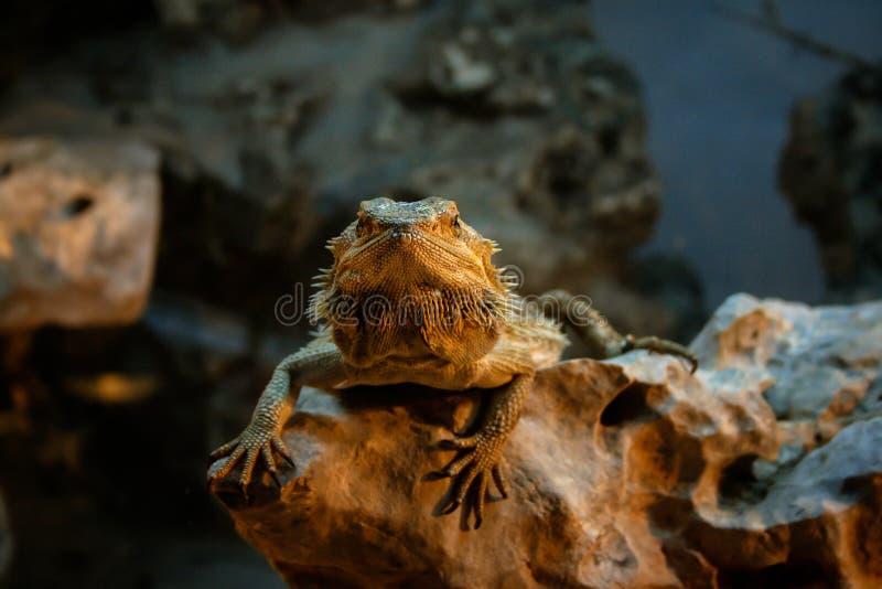 Drago barbuto che riposa su una roccia immagini stock libere da diritti