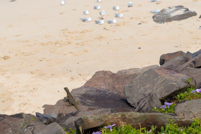 Drago di acqua australiano fotografia stock libera da diritti