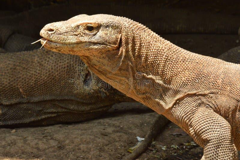 Drago di Komodo fotografia stock