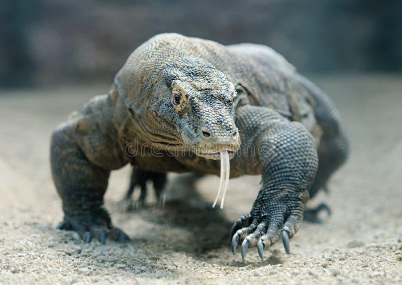 Drago di Komodo immagini stock libere da diritti