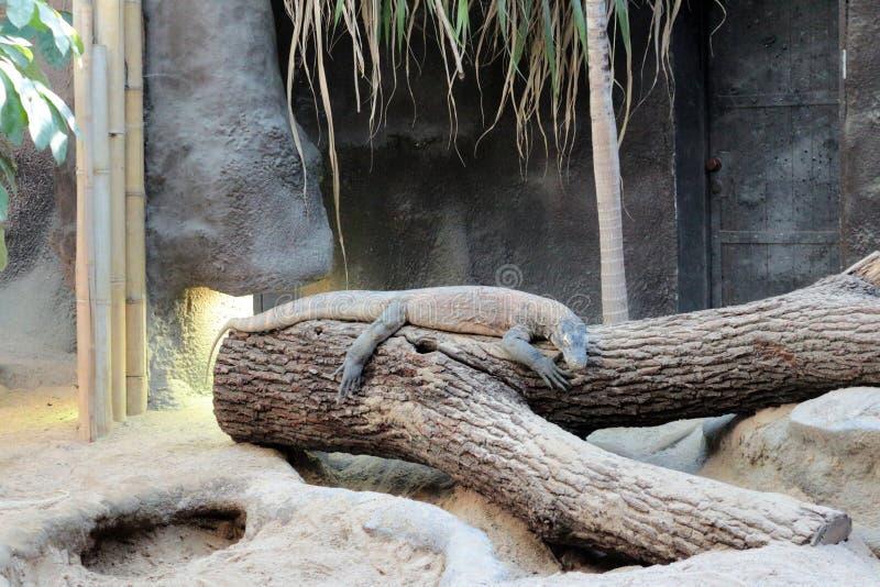Drago di Komodo allo zoo Praga fotografie stock