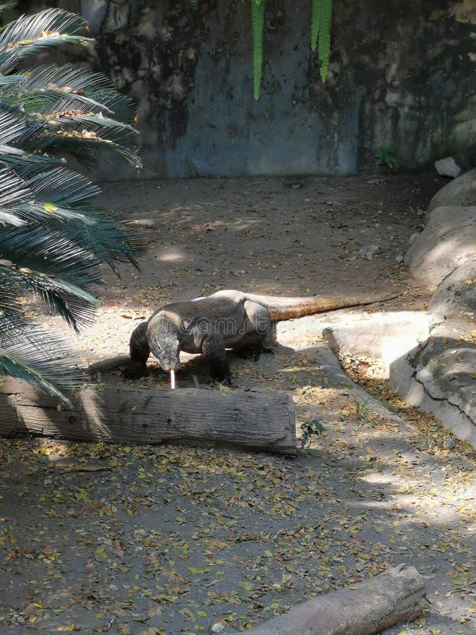 Drago di Komodo che cammina e che attacca fuori lingua fotografia stock