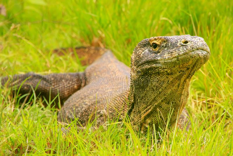 Drago di Komodo che si trova nell'erba sull'isola di Rinca nel cittadino di Komodo fotografie stock