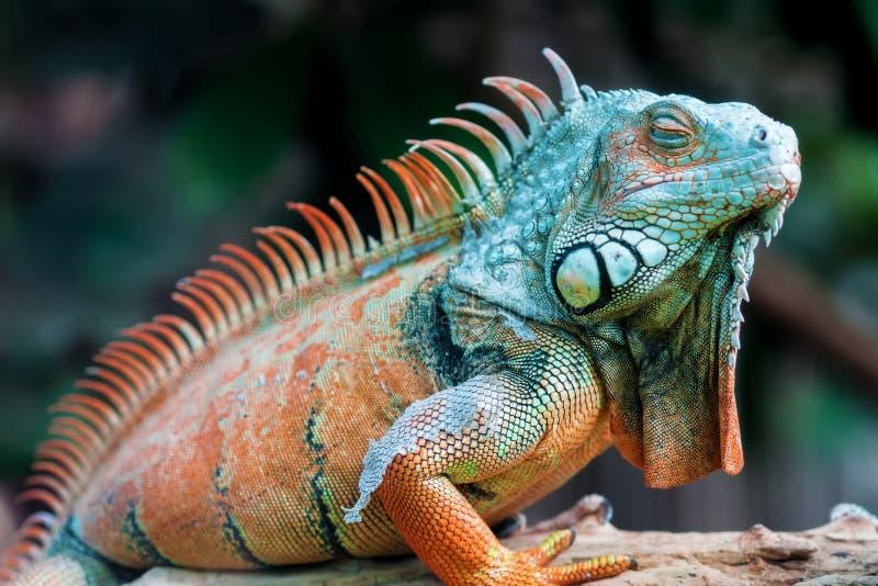 Drago di sonno - iguana verde immagine stock