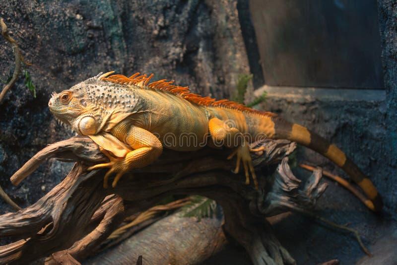 Drago di sonno - ritratto del primo piano di un'iguana verde maschio arancione di riposo I fotografia stock libera da diritti