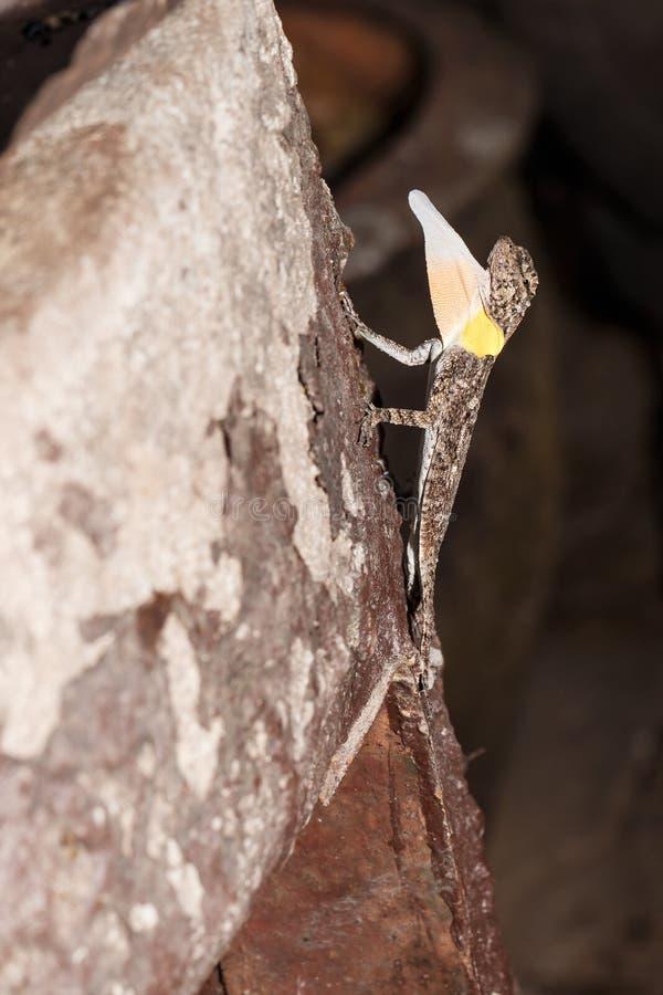 Drago di volo macchiato o lucertola di volo Arancio-alata con gular immagine stock