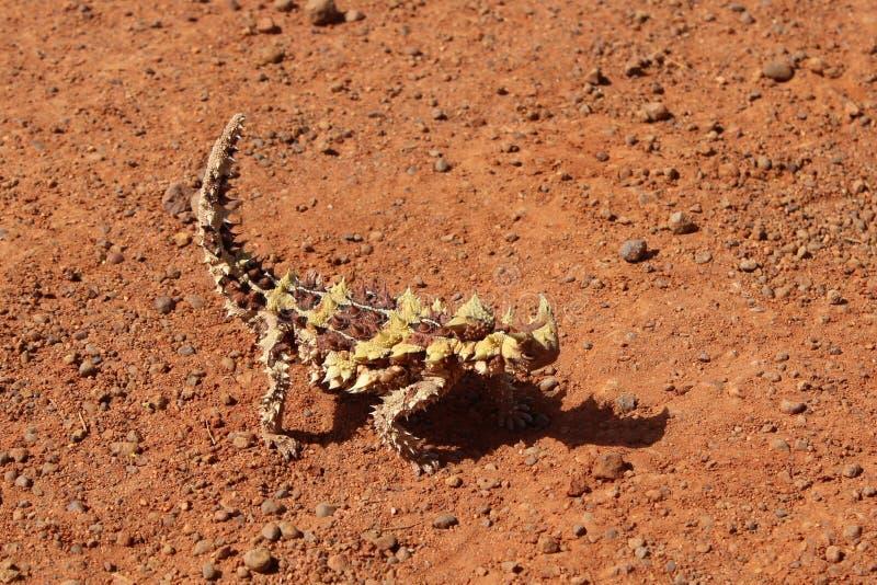 Drago spinoso nel Territorio del Nord dell'Australia immagine stock libera da diritti