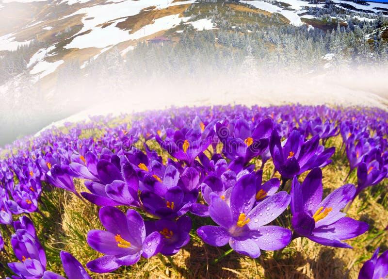 Dragobrat våren Carpathians royaltyfri bild